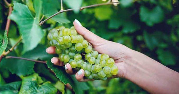 Бране на грозде за вино в лозята на Изба Калиакра край Каварна