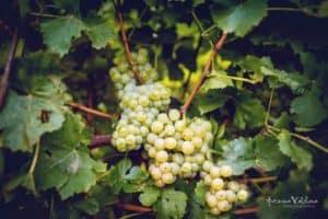 Бяло грозде за вино от лозята на Изба Калиакра