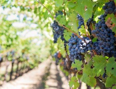 Снимка от лозята на Изба Калиакра Лозя с узряло червено грозде за вино