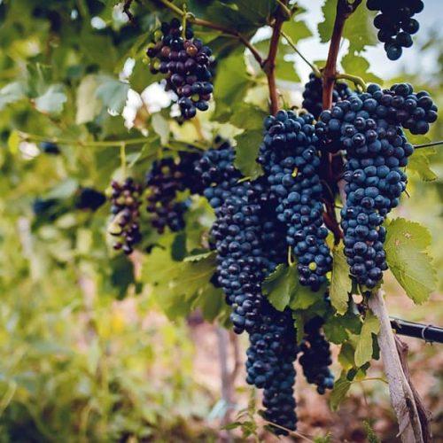 Узряло червено грозде за вино