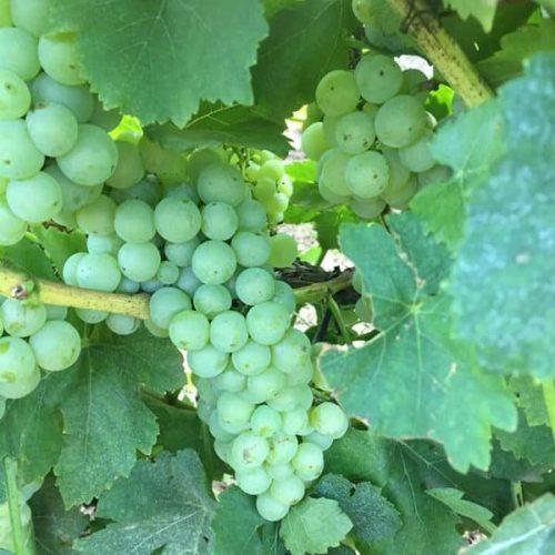 Грозде за вино Мускат отонел в Каварна